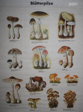 Lehrkarte Poster Pilze Blätterpilze Ddr Schule Ausbildung Lehrmittel Pilzberater Bild