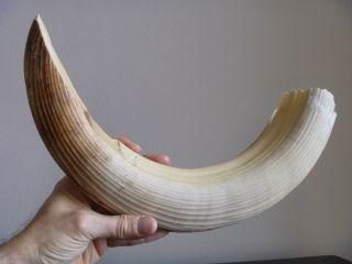 Stück Bein Für Messergriffschalen,  Afrika,  Sehr Alt 1000 Gramm 1kg Kilogramm Bild