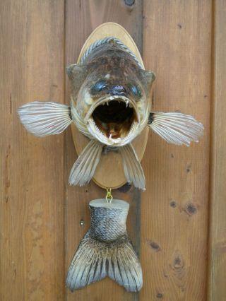 Zanderkopf - Fisch