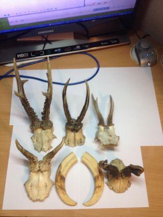 5 X Rehgehörn Gehörn Rehbock Jagd Trophäe,  2 X Große Wildschwein Keiler Hauer Bild