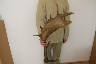 Starkes Damhirsch Abwurfstangen Gehörn Hirschhorn 1,  2kg Bild