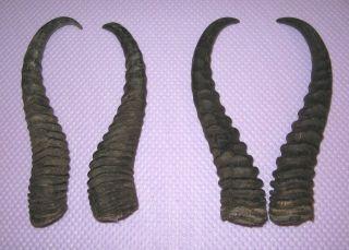 6 Antilopen Hörner : 2 Springbock Hornpaare Und 2 Blessbockhörner : Hörner : Bild