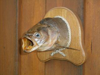 Schied - - Rapfen Fisch