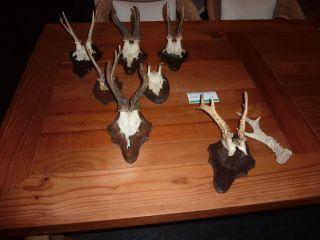 Verkaufe 6 Stück Reh - Geweihe (7) Auf Trophäenbrettchen Bild