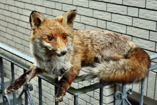 Fuchs Liegend Jagd Bild