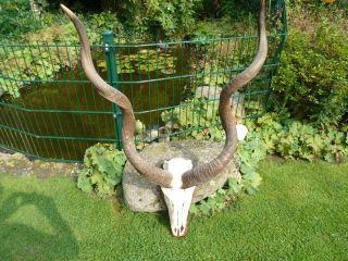 Kudu - Geweih,  Antilope Afrika Gazelle Impala Gnu,  Deko,  Geschenk Bild