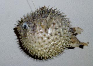 Igelfisch Papageifisch Tierpräparat Fischpräparat Ausgestopfter Fisch Maritim Bild