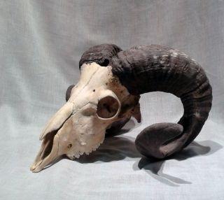 Schafschädel,  Heidschnucke,  Trophäe,  Hörner,  Satan Bild