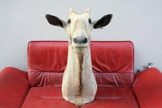 - Riesige Kudu Trophäe - Geweih Antilope Gnu Oryx Afrika Weihnachtsgeschenk Trophy Bild