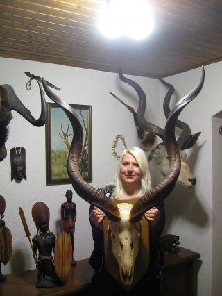Kapitaler Großer Kudu Gehörn Kuduantilope Auf Dekobrett Antilope Afrika Gazelle Bild