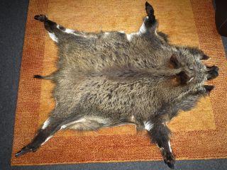 Wildschweinfell Keilerfell Tierfell Jagdtrophäe Bild