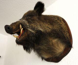 Großer Wildschweinkopf,  Keilerkopf,  Präparat,  Jagdtrophäe Bild