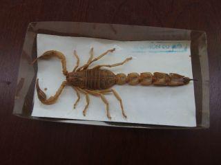 H62) Tier Präparat Skorpion Du Sud Totes Tier Ovp Bild