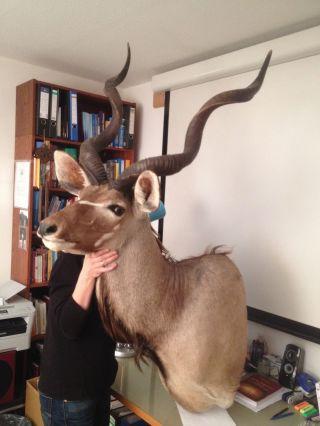 Jagdtrophäe Kudu Kopfpräparat Bild