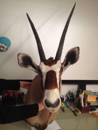 Jagdtrophäe Kopfpräparat Oryxantilope Bild