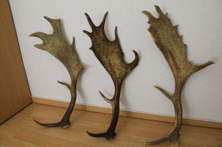 Starkes Damhirsch Abwurfstangen Gehörn Hirschhorn 3,  7kg Bild