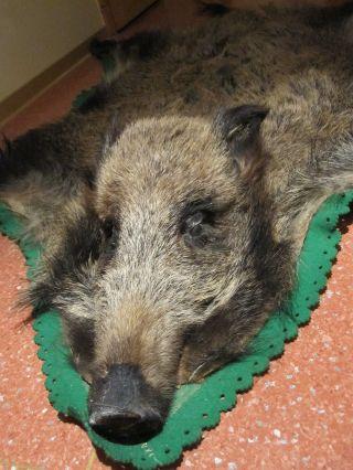 Wildschwein Präparat Ca.  1,  80 M Groß.  Wohnungsauflösung Bild