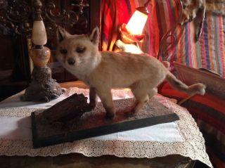 Ausgestopftes Fuchs Baby,  Trophäe,  Präparat,  Taxodermie,  Jagd,  Rar, Bild