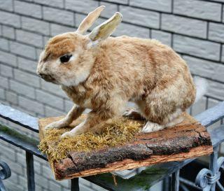 Kaninchen Auf Brett Gehörn Geweih Bild