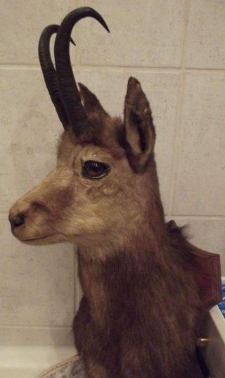 Gamsbock Gamskopf Jagdtrophae Tierpräparat Gams Gut Erhalten Bild