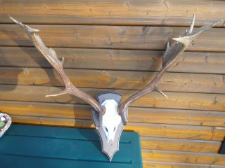 Damhirschgeweih Geweih Hirschgeweih Hirsch Fallow Deer Dekoration Bild