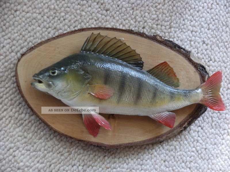 Barsch fisch pr parat rute angeln spinner wobbler blinker for Fisch barsch
