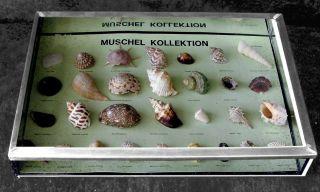 Muschel - Kollektion,  Ca.  1950 Schulisches Präparat Im Glaskasten Mit Zinn - Einfas Bild