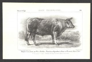 KÜhe,  Rinder,  Konvolut,  9 Lithographien,  1851 Bild