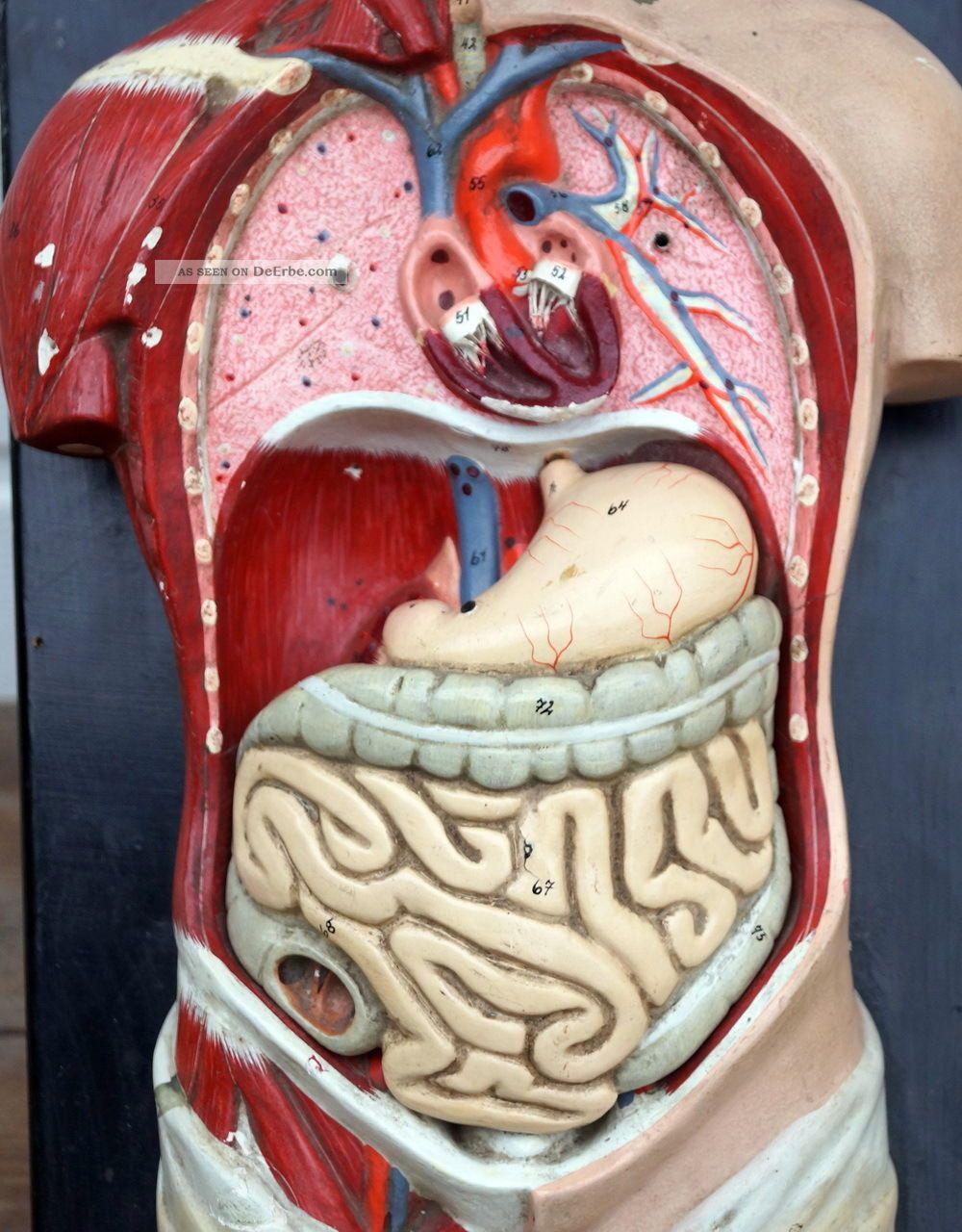 Nett Torso Anatomie Modell Fotos - Menschliche Anatomie Bilder ...