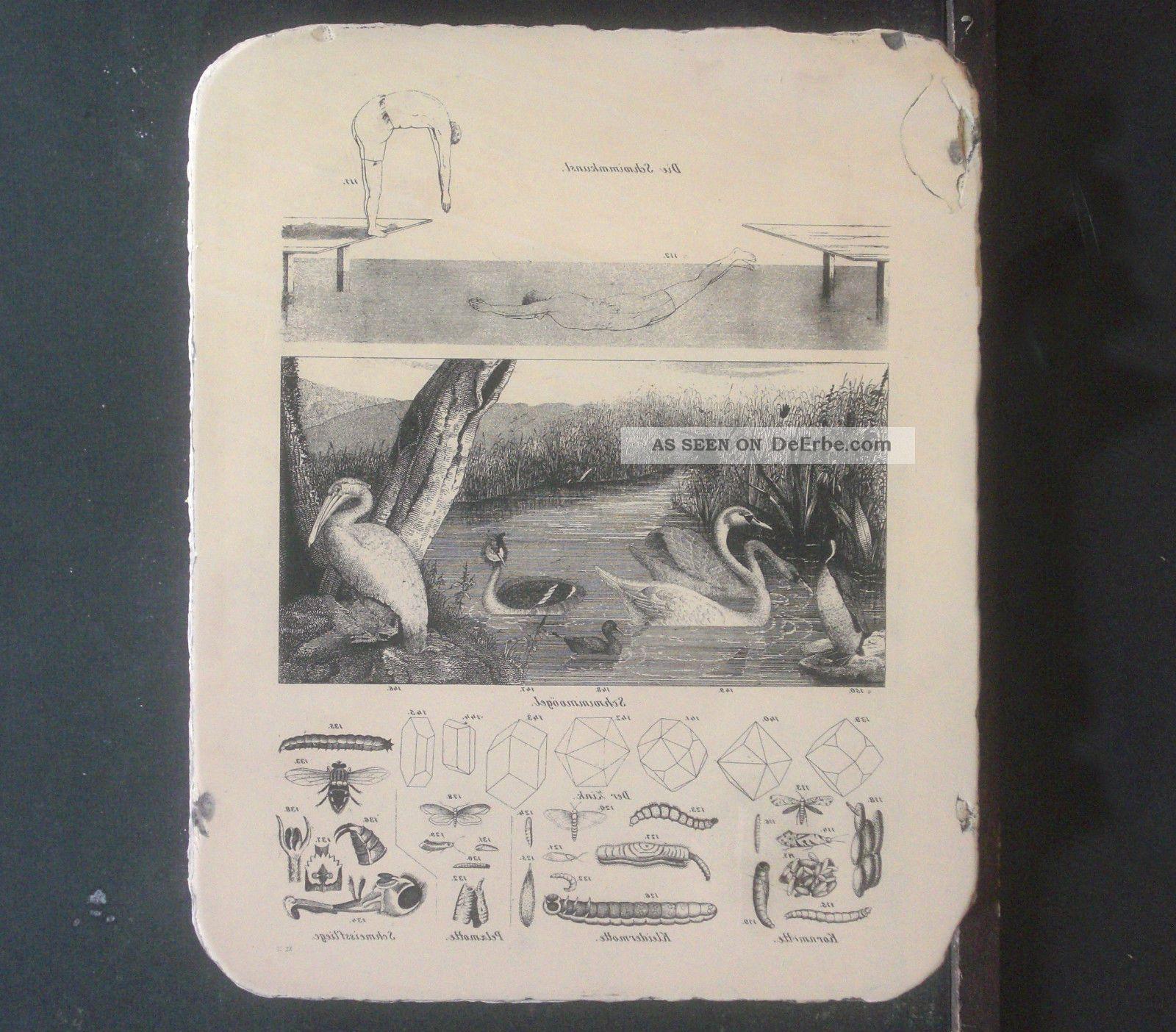 Lithographiestein Schwimmkunst Schwimmvögel Kristalle Würmer Um 1850 Buchdrucker & Buchbinder Bild