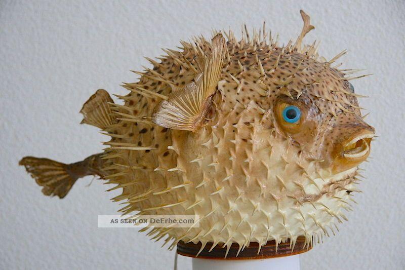 grande hedgehog preparato Pesce palla Pesce pagliaccio Genuinamente k0N8wPnOXZ