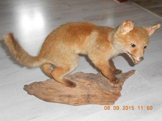 Altes Tierpräparat Ausgestopfter Fuchs Auf Wurzel Dachbodenfund Bild