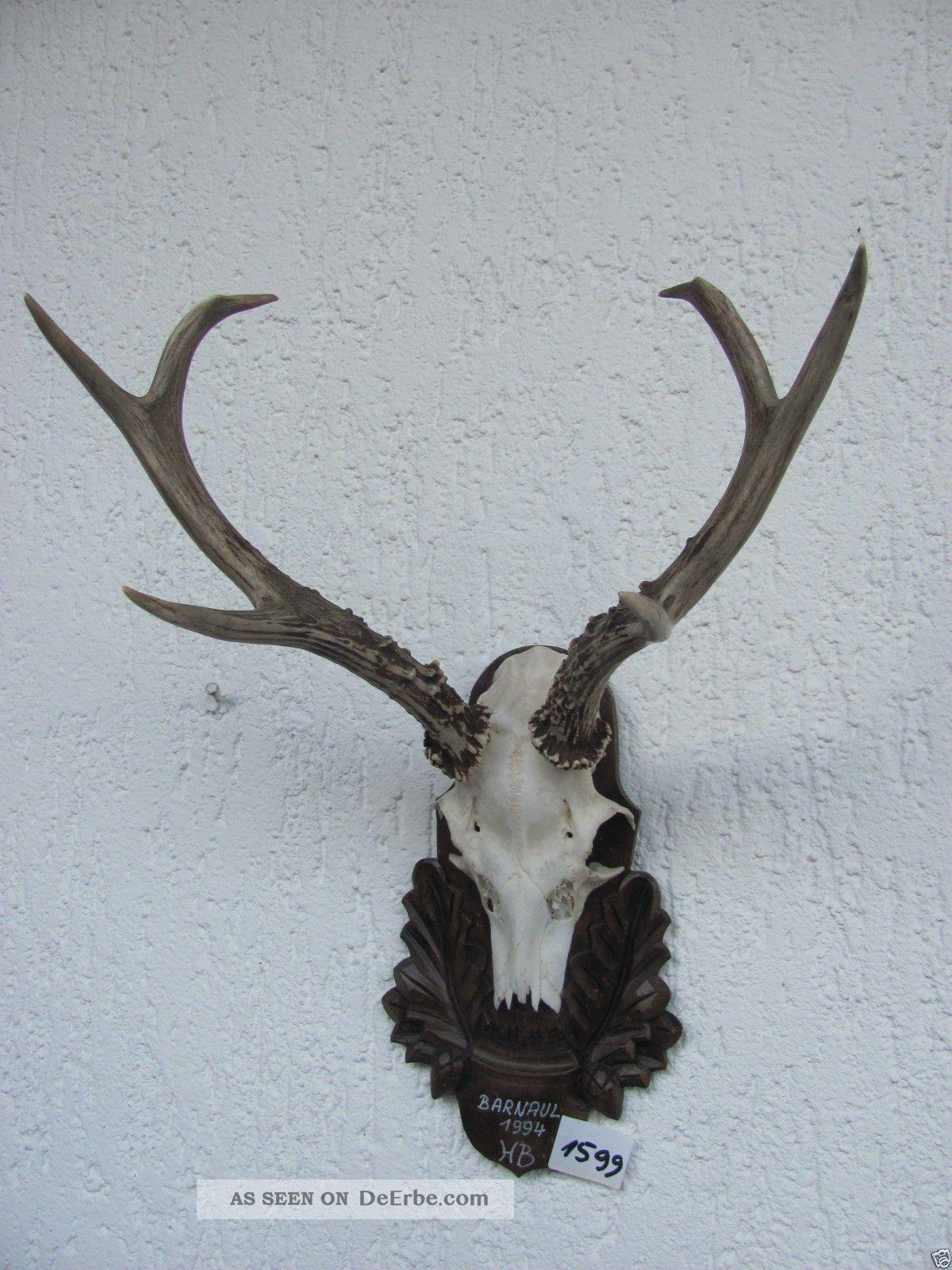 Kap.  Sibir.  Sechser GehÖrn 448g Sibirien Geweih 1599 TrophÄe Deko Bock Antlers Jagd & Fischen Bild