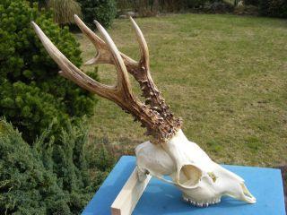 Kapitaler Medalienbock Rehgeweih - Roe Deer - Chevreuil - Corzo - Capriolo - Chasse - Syrnec Bild