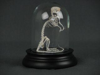 Maus Skelett Mäuseskelett Schädel Glaskuppel Präparat 2 Bild