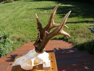 Hochkapitales Goldmedalienbock 606g Abnorm Rehgeweih - Roe Deer Antlers - Corzo Bild