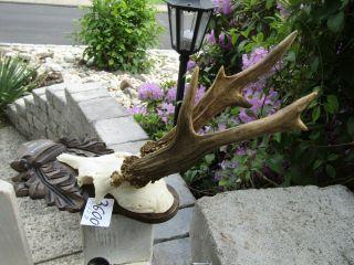 Kap.  Sechser GehÖrn 272 G 3 Rosen Geweih 3600 TrophÄe Deko Reh Hobby Antlers Bild