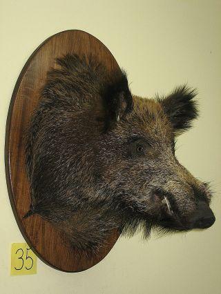 Wildschweinkopf (nr 35) Auf Dem Ovalen Brett,  Keilerzähne Aus Polyesterharz Bild