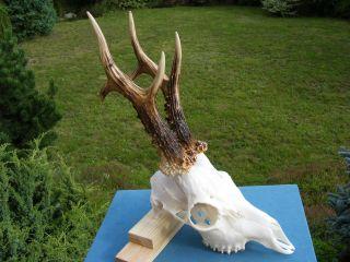 Kapitaler Medaliebock Rehgeweih - Roe Deer - Chevreuil - Corzo - Capriolo - Chasse - Syrnec Bild