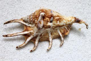 Muschel Lambis Lambis Ca.  12 Bis 15 Cm Seeschneckengehäuse See Schnecke Bild
