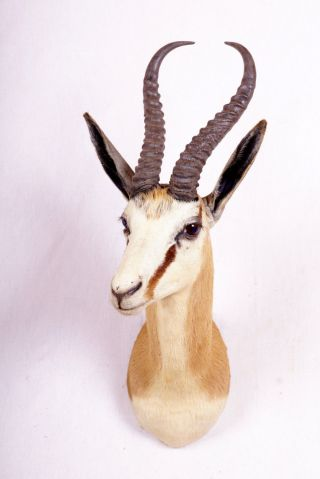 Schöner Springbock Spring Buck Taxidermy Hornlänge: 33 Cm Bild