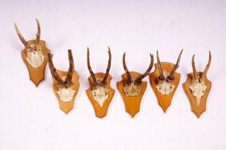 6 Schöne Rehgeweihe Auf Hellen Trophäenbretter Roe Deer Trophies Bild