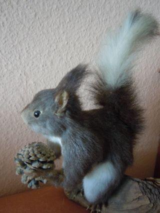 Graues Eichhörnchen Auf Wurzel,  Aus Nachlass Bild