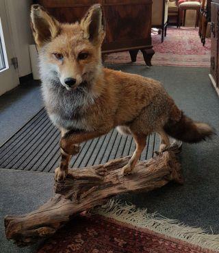 Fuchs Tierpräparat,  Taxidermy,  Sehr Schöne Arbeit Und Bild
