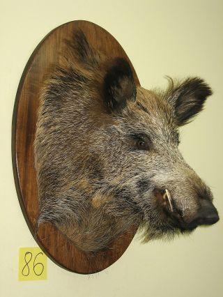 Wildschweinkopf (nr 86) Auf Dem Ovalen Brett,  Keilerzähne Aus Polyesterharz Bild