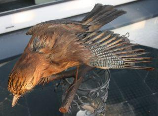 Ein Präparierter Eichelhäher über 30 Jahr Alt Bild