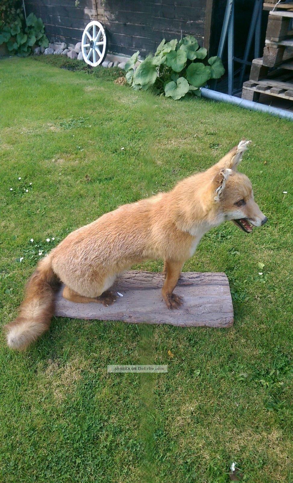 Schöner Großer Fuchs Präparat Jagd & Fischen Bild