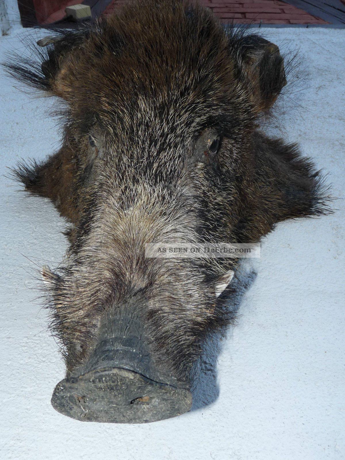 Keilerkopf Eber Trophäe Wildschwein Präparat Sauschwarte Hirsch Jagd Präpariert Jagd & Fischen Bild