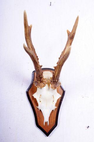 Schönes 6 Ender Rehgeweih Auf Trophäenbrett Roe Deer Trophy Höhe: 29 Cm Bild