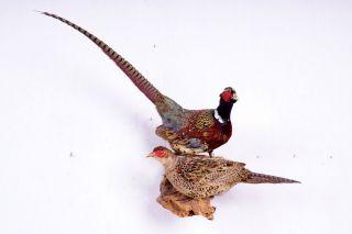 Schönes Jagdfasanen - Paar Pheasant Taxidermy Mit Bescheinigung Bild